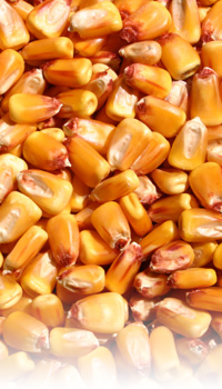 yellow shelled corn